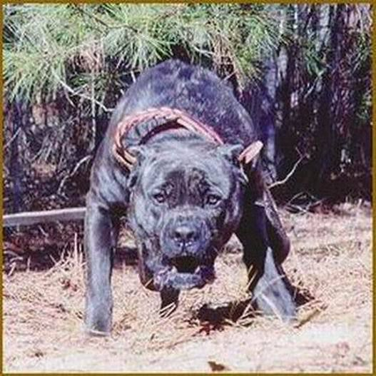 presa_canario_in_the_canary_islands.jpg